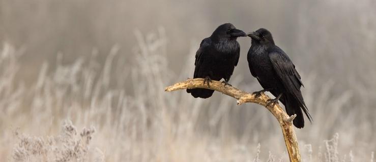 Felieton: Rozdziobują nas kruki i wrony...