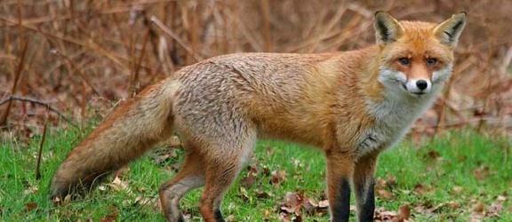 Uwaga na szczepionki dla wściekłych lisów!
