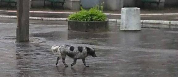 Musimy uratować psa błąkającego się po Dębicy. Potrzebna jest Wasza pomoc!