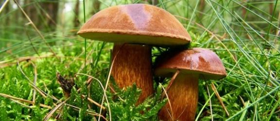 Uwaga miłośnicy grzybów, w okolicach Elbląga są koźlarze i kurki