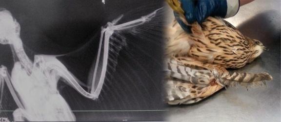 Jastrząb zaplątał się w drut kolczasty. Ratuje go Centrum Pomocy Dzikim Zwierzętom w Gronowie Górnym