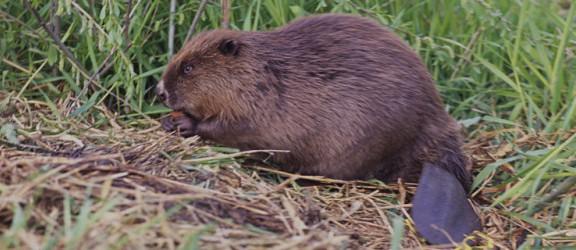 Zima uchroniła bobry na Żuławach przed odstrzałem