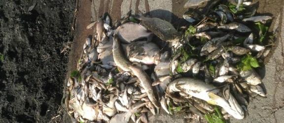 Prawie 700 kilogramów śniętych ryb w rzece Dzierzgoń
