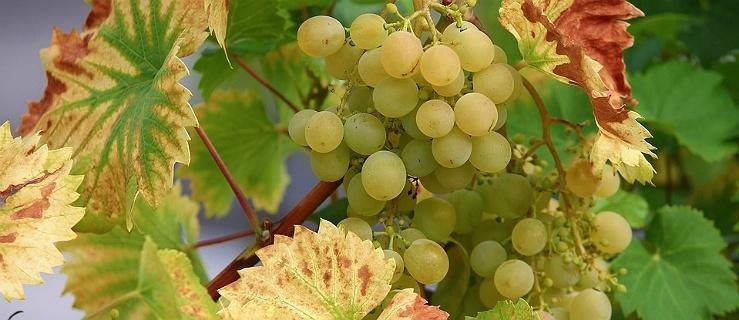 Polacy zaczynają produkować więcej wina. Mamy szansę być dobrym producentem białych i musujących win
