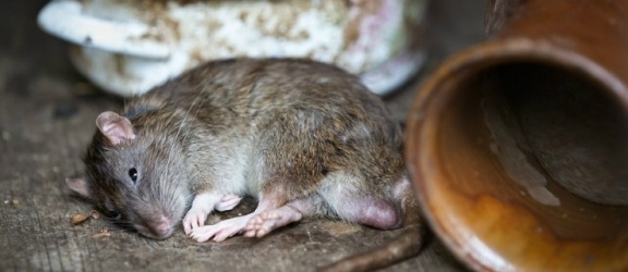 Elbląg.Trwa obowiązkowa walka ze szczurami