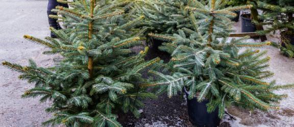 Choinka – symbol świąt. Ile zapłacimy za żywe drzewko?